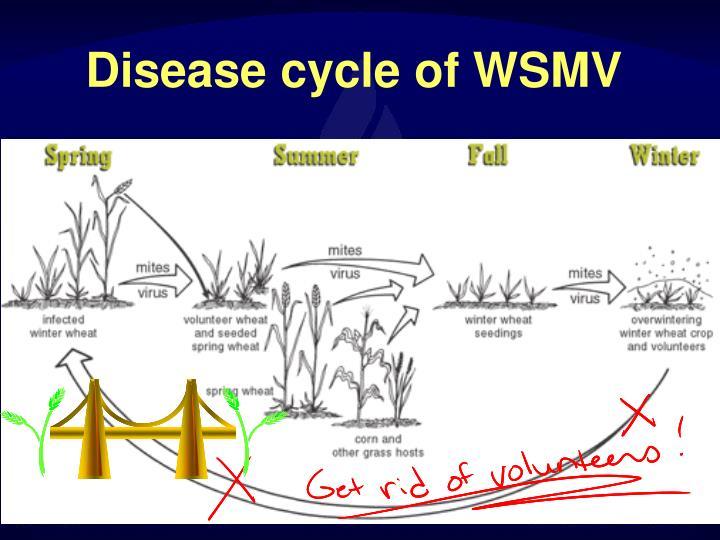 Disease cycle of WSMV
