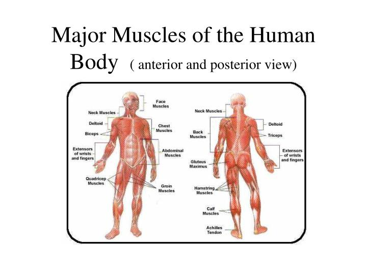 Major muscles of the human body anterior and posterior view