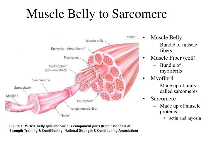 Muscle Belly to Sarcomere