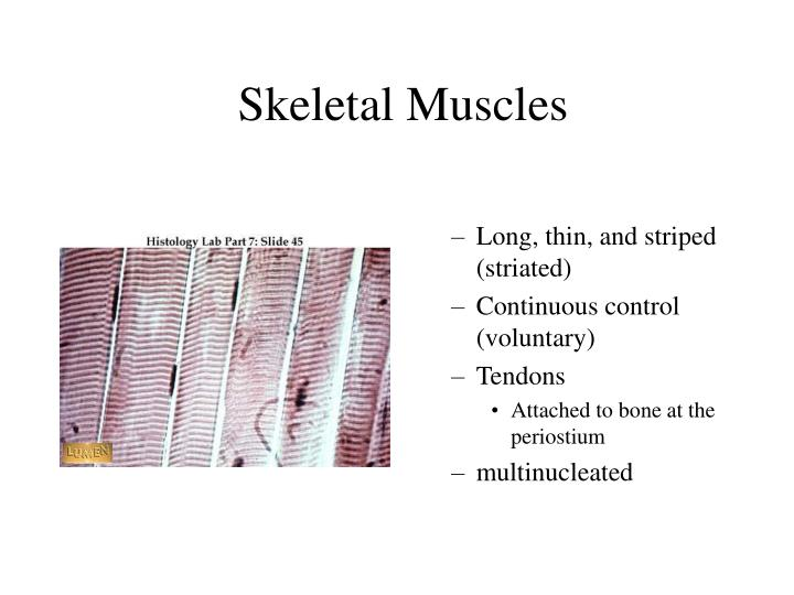 Skeletal Muscles