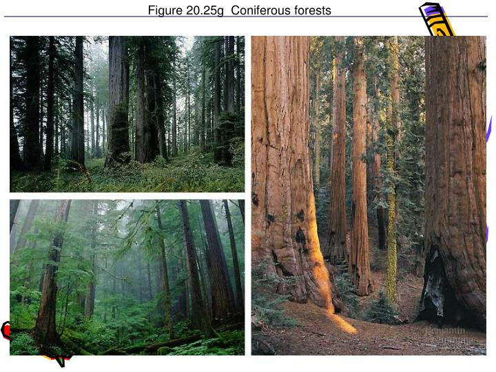 Figure 20.25g  Coniferous forests