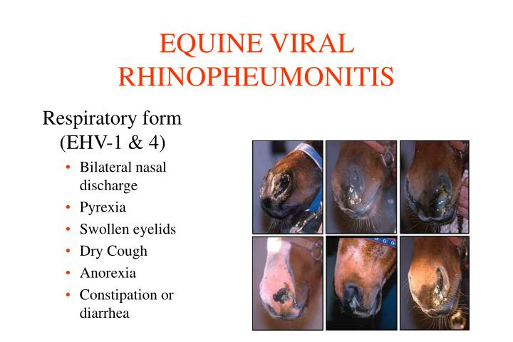 EQUINE VIRAL RHINOPHEUMONITIS