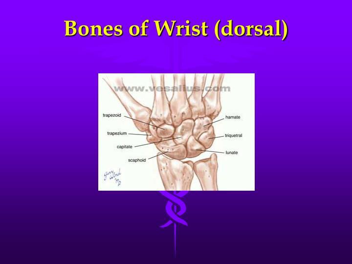 Bones of Wrist (dorsal)