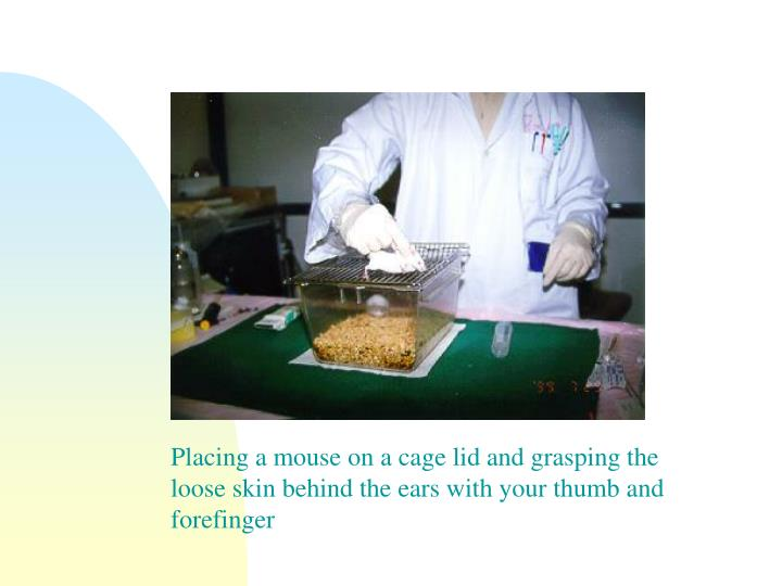 Placing a mouse on a cage lid and grasping the loose skin behind the ears with your thumb and forefinger