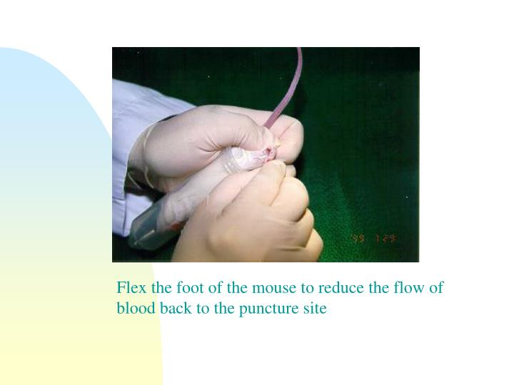 Flex the foot of the mouse to reduce the flow of blood back to the puncture site