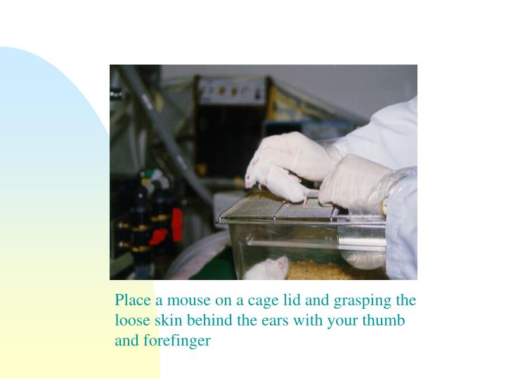 Place a mouse on a cage lid and grasping the loose skin behind the ears with your thumb and forefinger