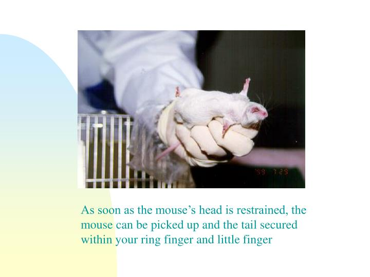 As soon as the mouse's head is restrained, the mouse can be picked up and the tail secured within your ring finger and little finger