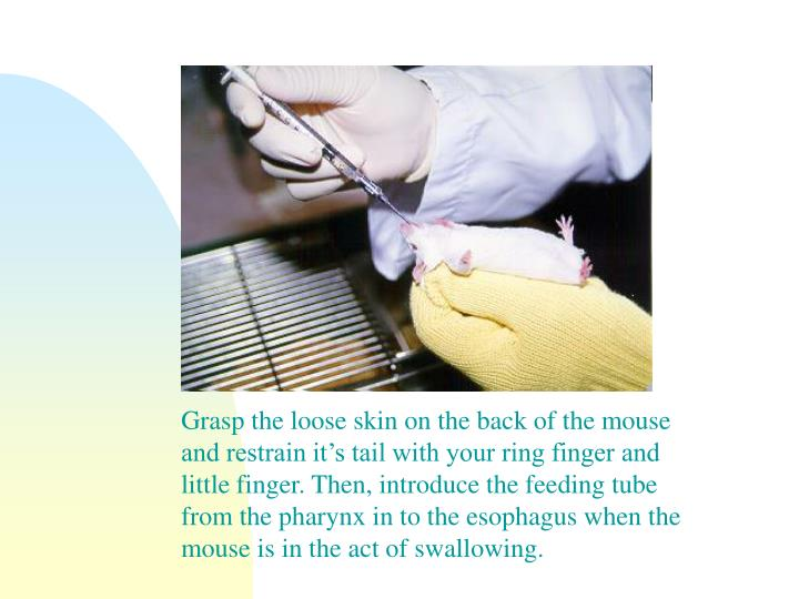 Grasp the loose skin on the back of the mouse and restrain it's tail with your ring finger and little finger. Then, introduce the feeding tube from the pharynx in to the esophagus when the mouse is in the act of swallowing.