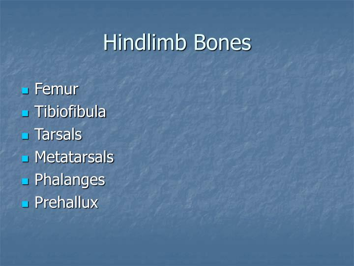 Hindlimb Bones