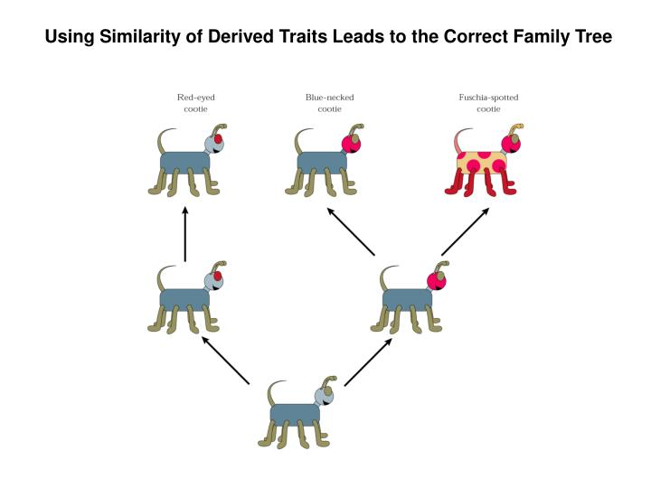 Using Similarity of Derived Traits Leads to the Correct Family Tree
