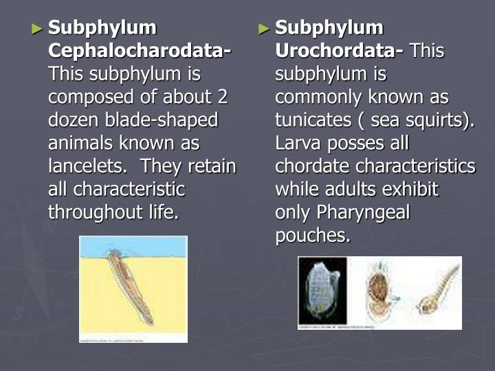 Subphylum Cephalocharodata-