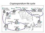 cryptosporidium life cycle