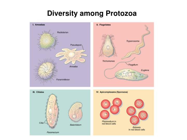 Diversity among Protozoa