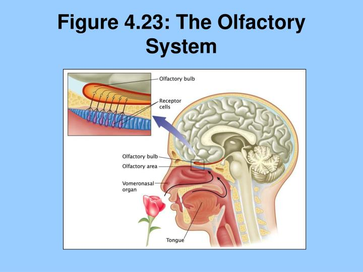 Figure 4.23: The Olfactory System