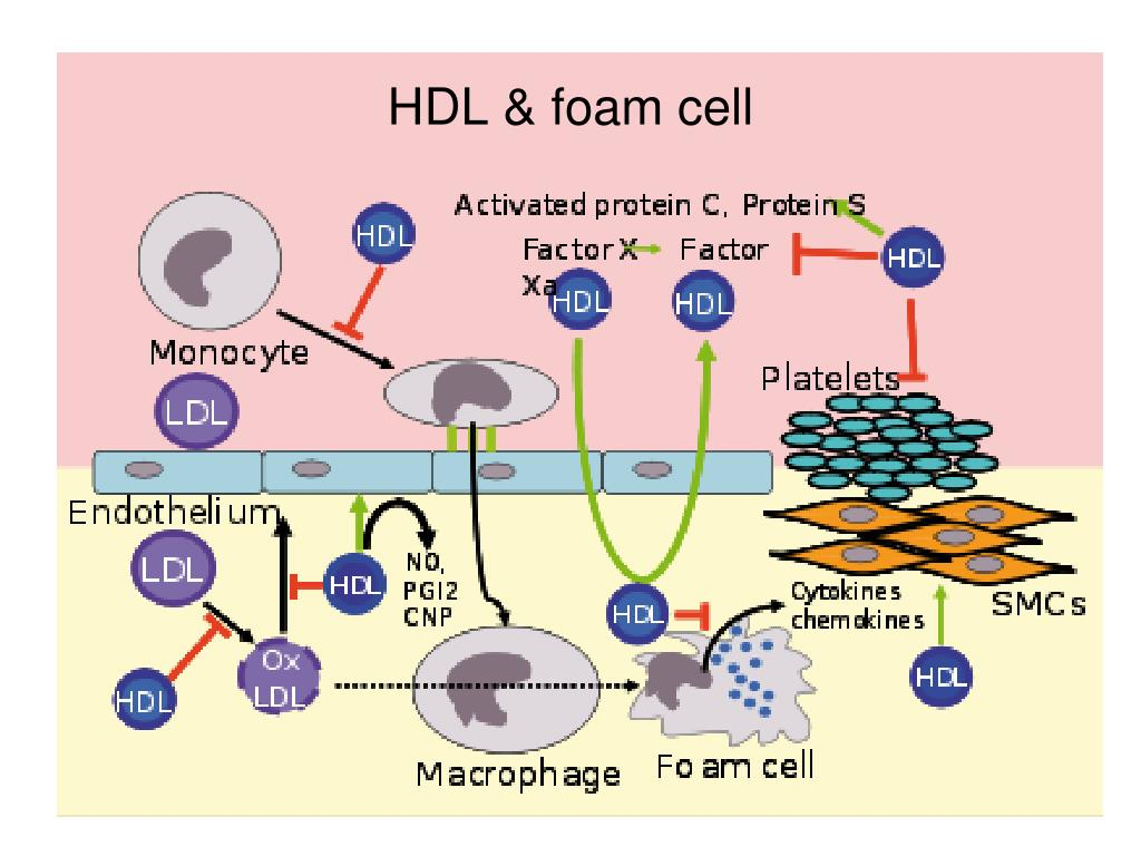 HDL & foam cell