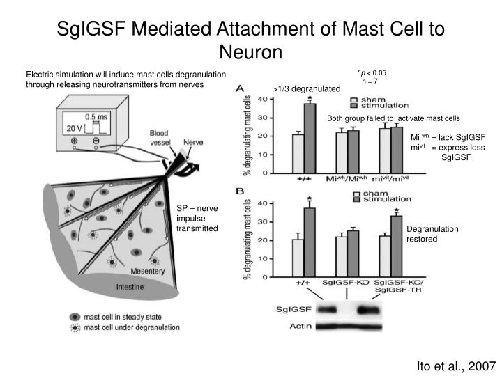 SgIGSF Mediated Attachment of Mast Cell to Neuron