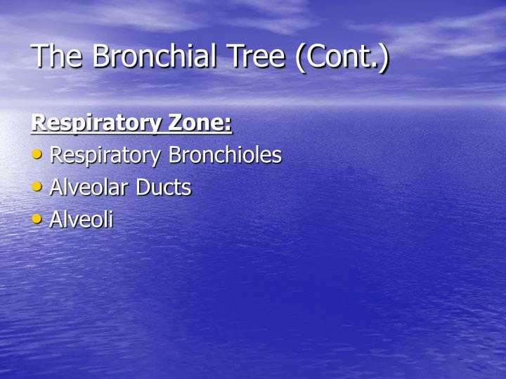 The Bronchial Tree (Cont.)