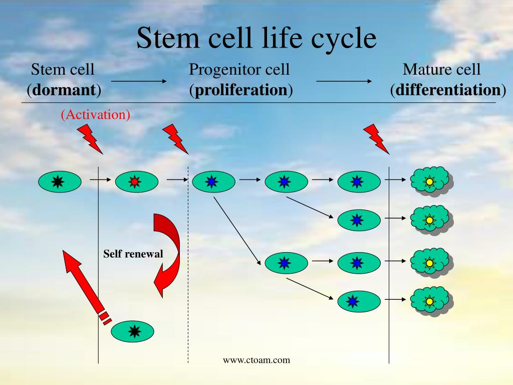 Stem cell life cycle