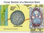 cross section of a monocot stem