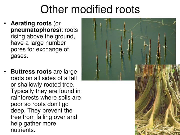 Other modified roots