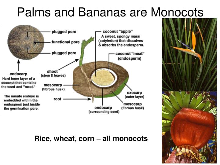 Palms and Bananas are Monocots