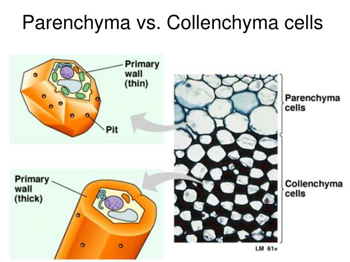 Parenchyma vs. Collenchyma cells