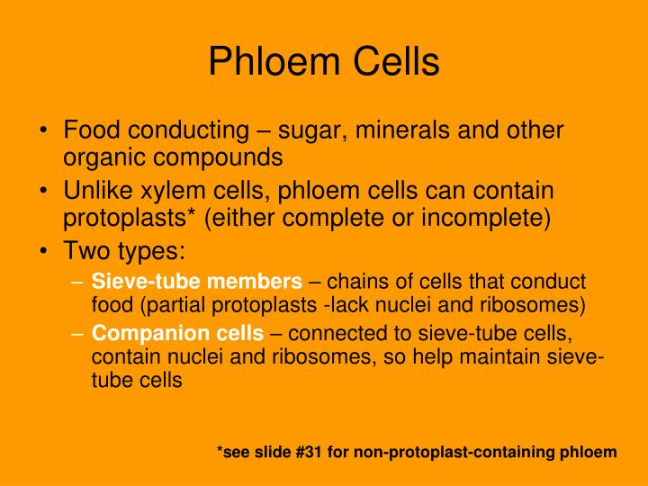 Phloem Cells