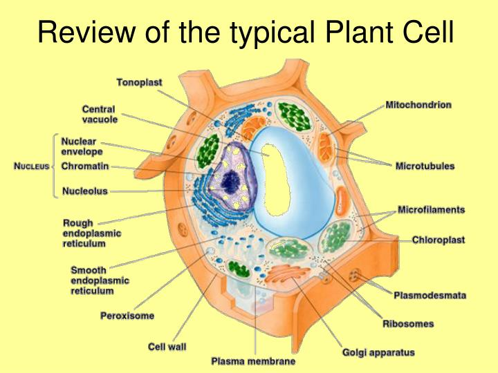 Review of the typical Plant Cell
