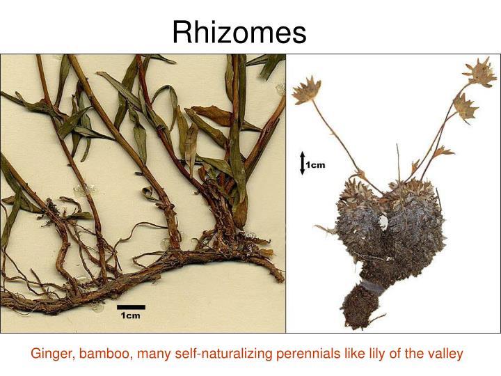 Rhizomes