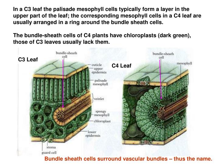 In a C3 leaf the palisade mesophyll cells typically form a layer in the upper part of the leaf; the corresponding mesophyll cells in a C4 leaf are usually arranged in a ring around the bundle sheath cells.