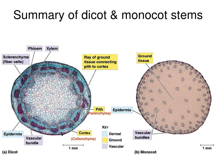 Summary of dicot & monocot stems