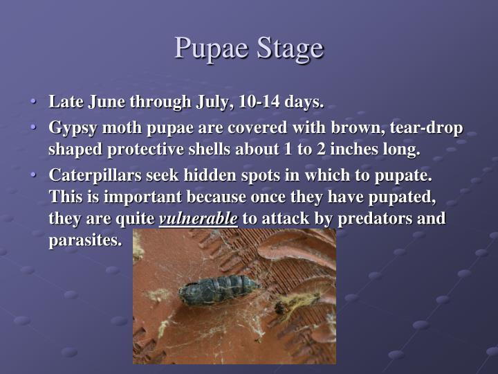 Pupae Stage