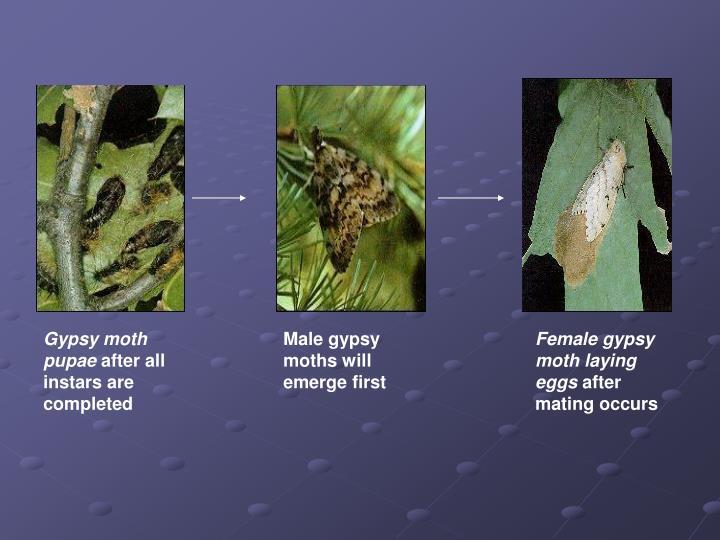 Gypsy moth pupae