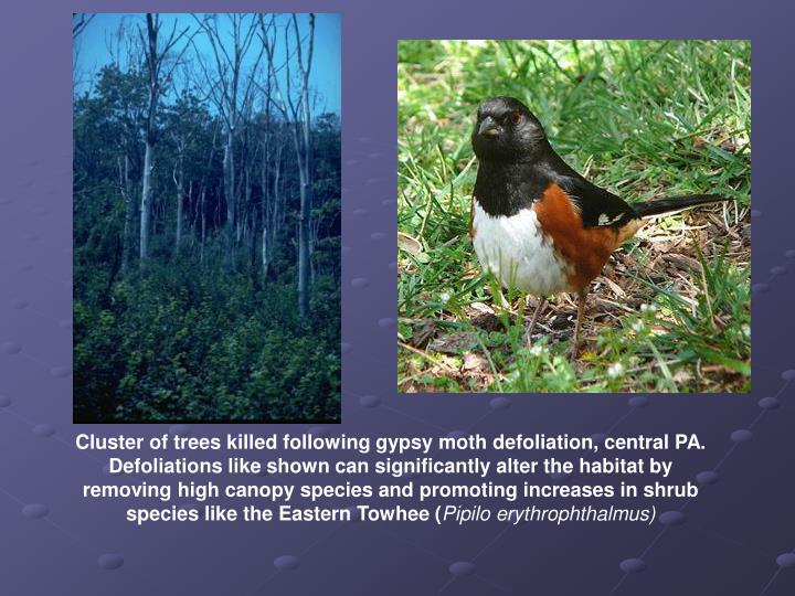 Cluster of trees killed following gypsy moth defoliation, central PA.  Defoliations like shown can significantly alter the habitat by removing high canopy species and promoting increases in shrub species like the Eastern Towhee (
