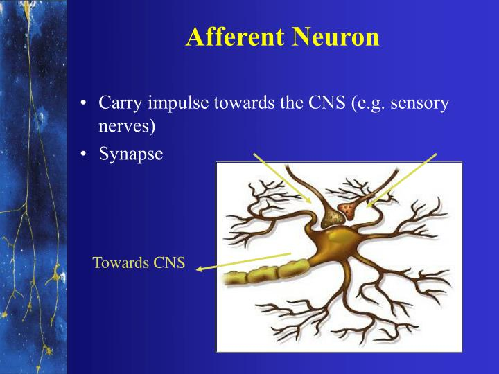Afferent Neuron