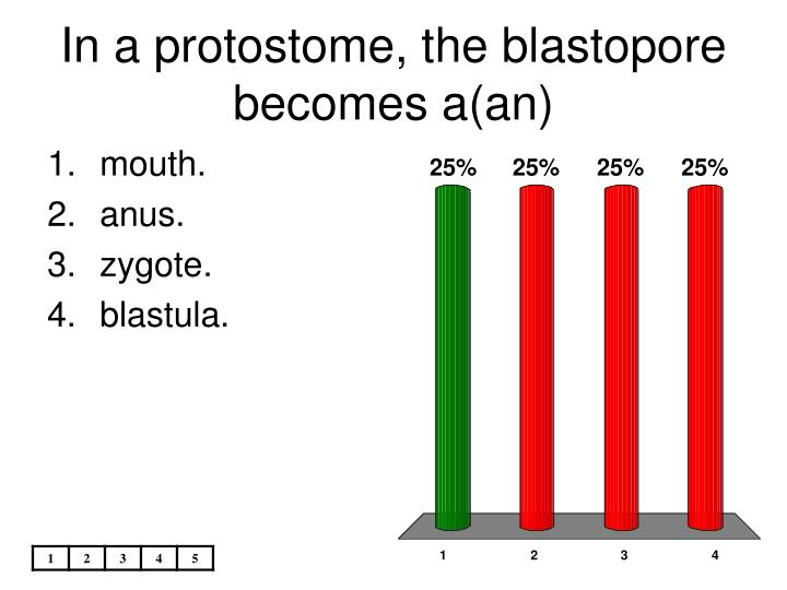 In a protostome, the blastopore becomes a(an)