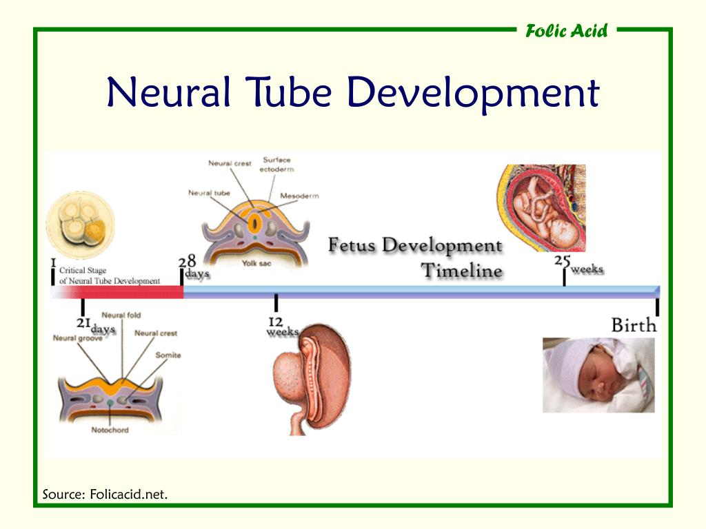 Neural Tube Development