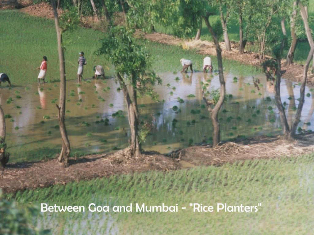 """Between Goa and Mumbai - """"Rice Planters"""""""