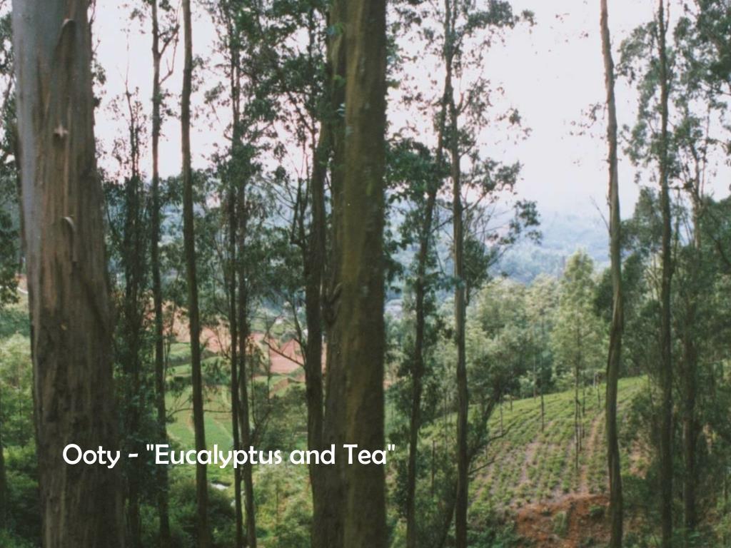 "Ooty - ""Eucalyptus and Tea"""