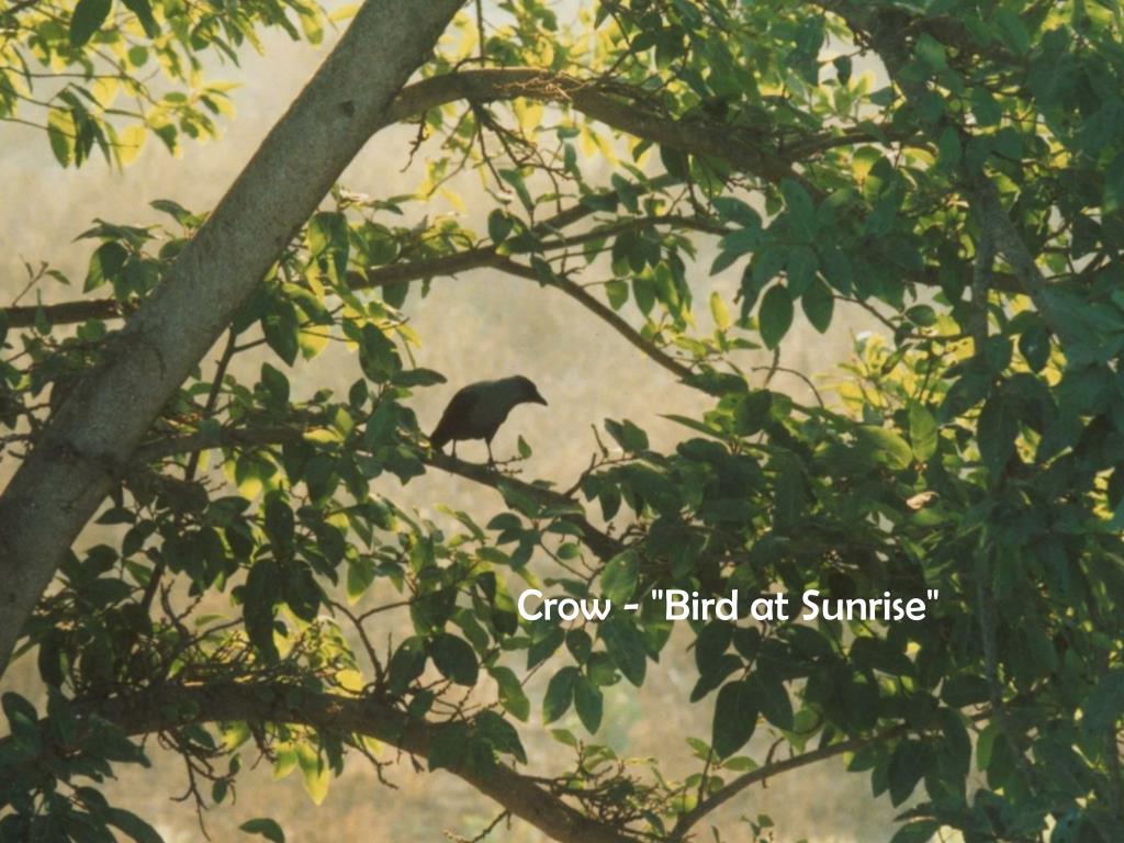 "Crow - ""Bird at Sunrise"""
