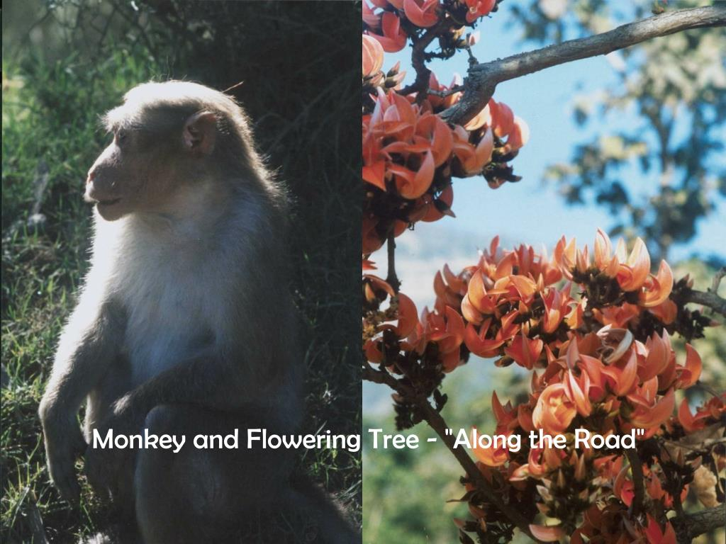 """Monkey and Flowering Tree - """"Along the Road"""""""
