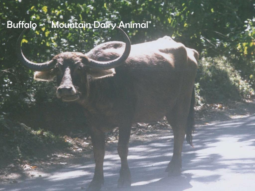 "Buffalo -  ""Mountain Dairy Animal"""