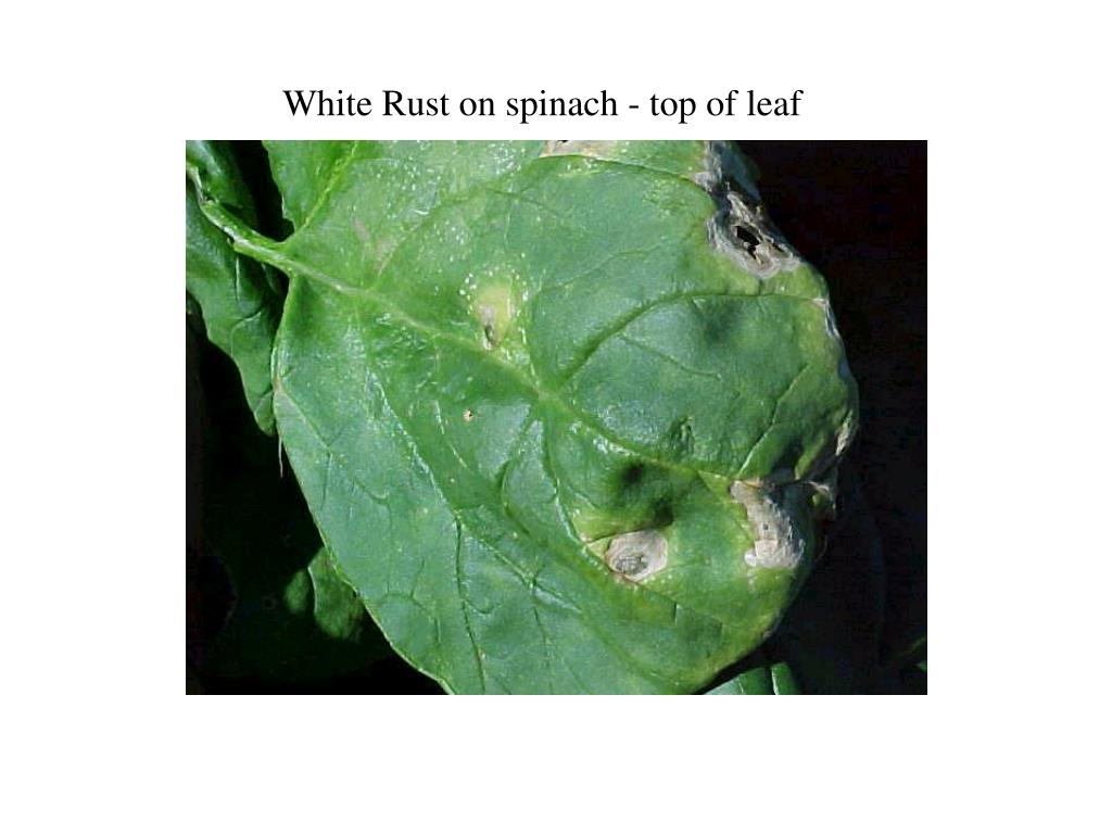 White Rust on spinach - top of leaf