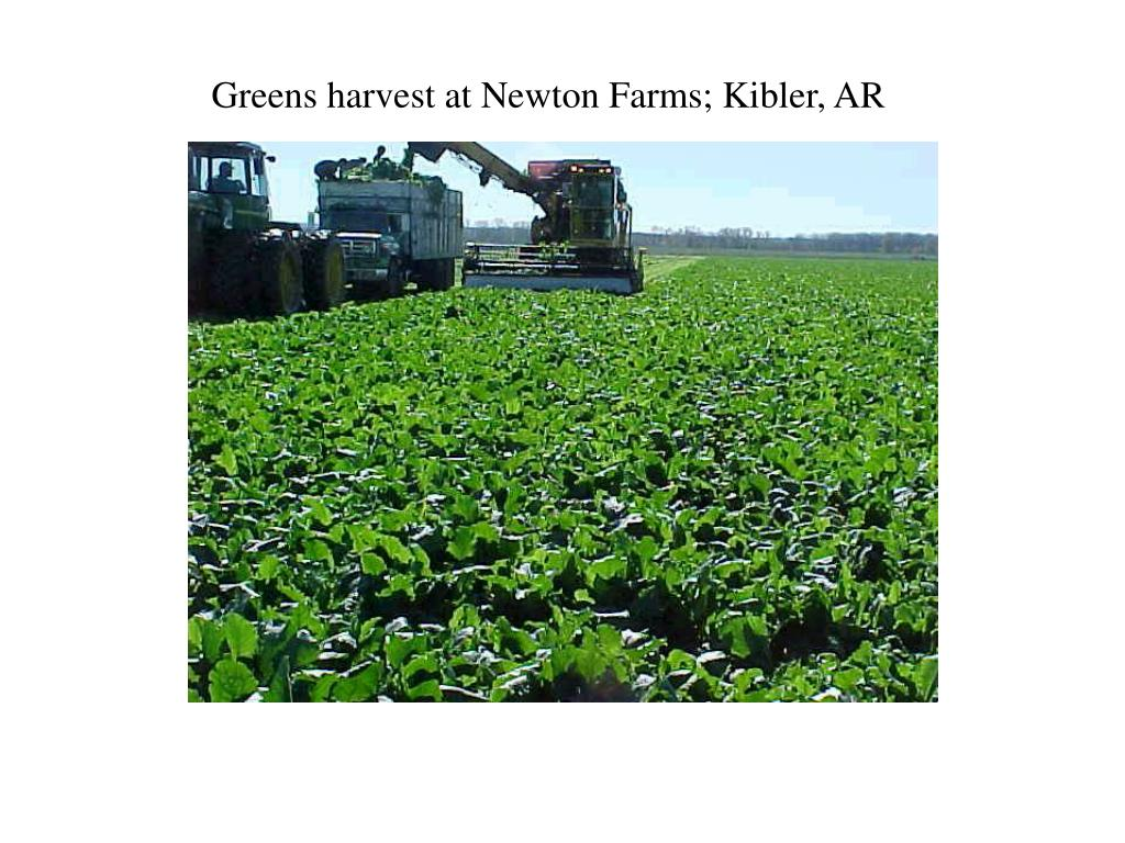 Greens harvest at Newton Farms; Kibler, AR