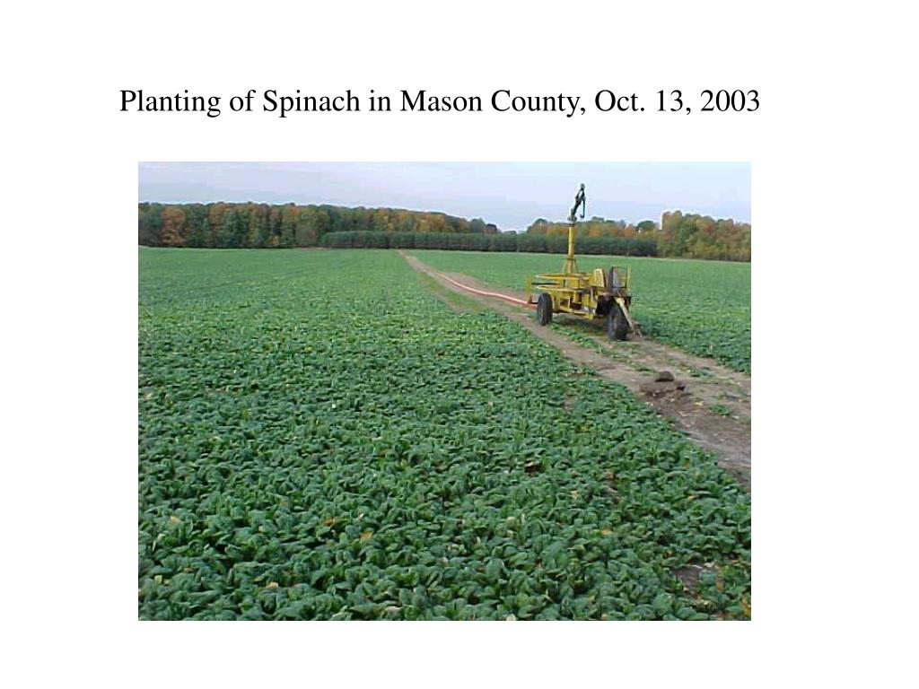 Planting of Spinach in Mason County, Oct. 13, 2003