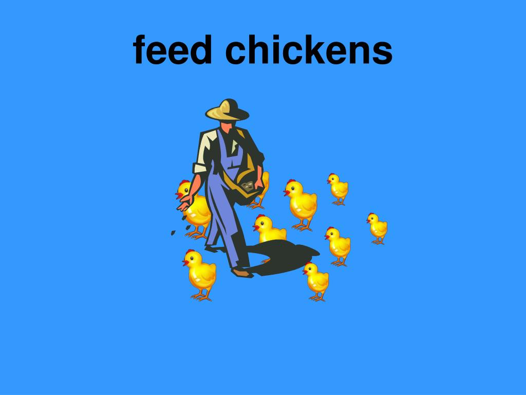 feed chickens