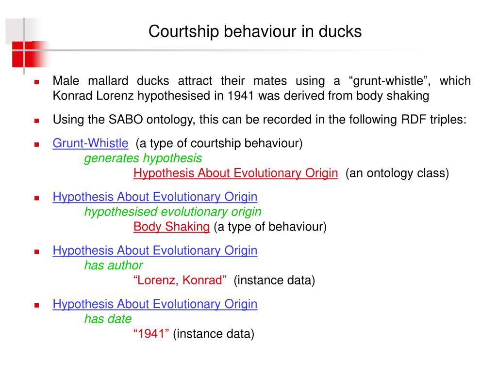 Courtship behaviour in ducks
