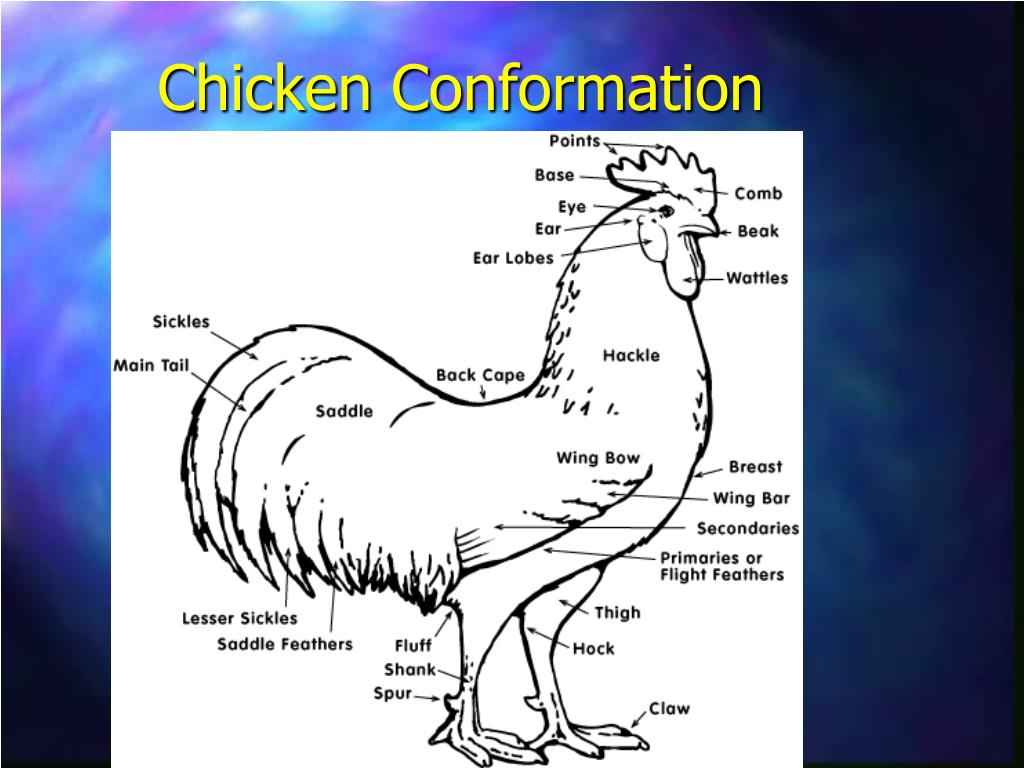 Chicken Conformation