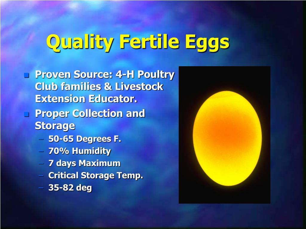 Quality Fertile Eggs