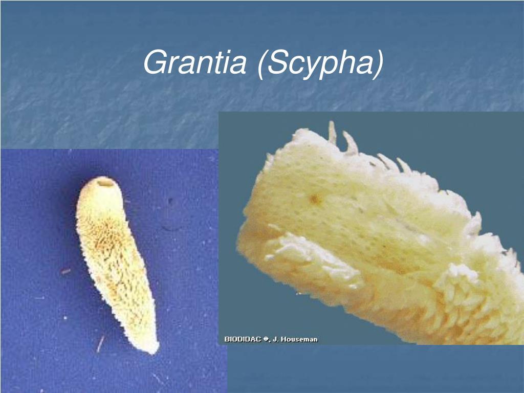 PPT - Phylum Porifera The Sponges PowerPoint Presentation ...  Grantia
